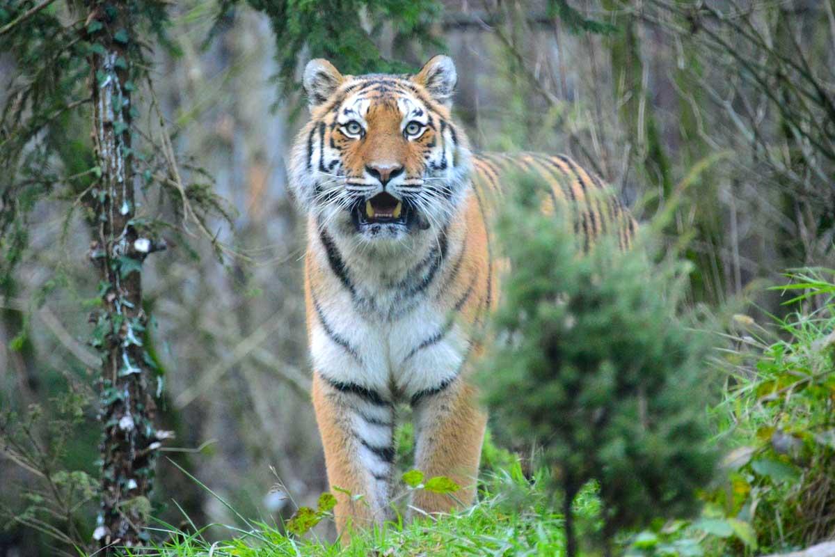 Tigre al Parco Natura Viva