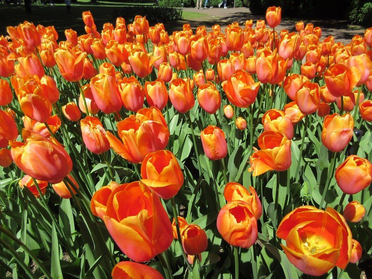 Tulipani Sigurtà