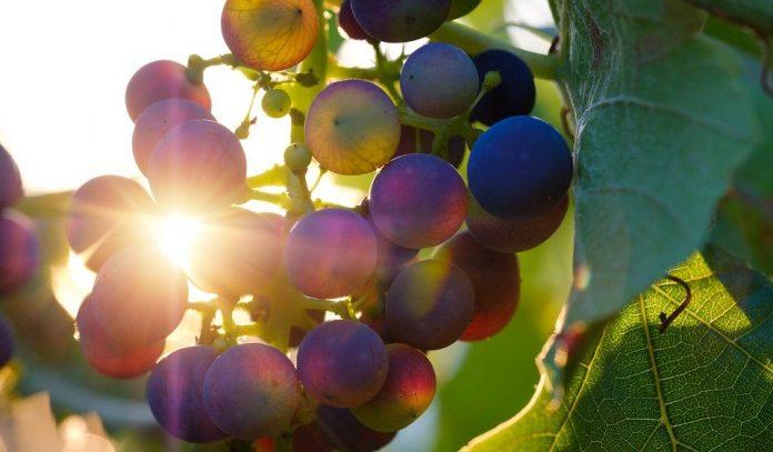 vino Veneto vigneti vigneto uva