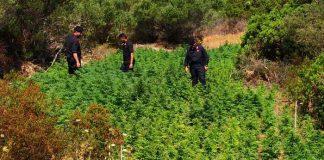 maxi piantagione marijuana costa smeralda