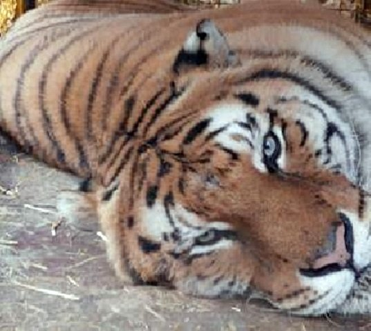 tigre domatore ucciso