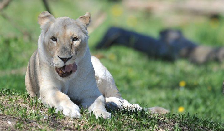 Giornata mondiale del leone