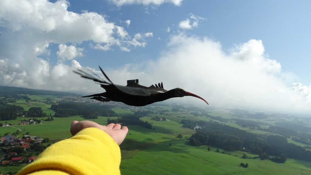 migrazione ibis