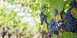 vigna-vino-vendemmia-viticoltura