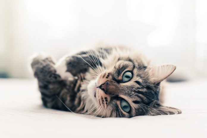 I gatti più belli del mondo-gatto-Foto Silvia Pampallona (1)