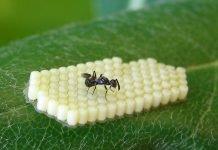 Anastatus bifasciatus - insetto antagonista della cimice