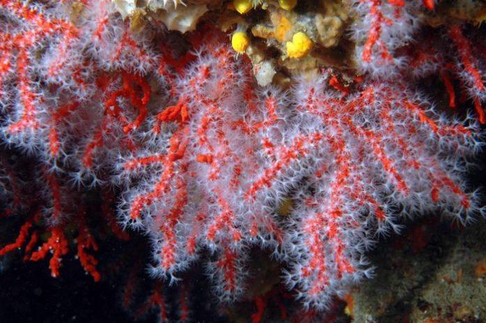 vicenzaoro corallo