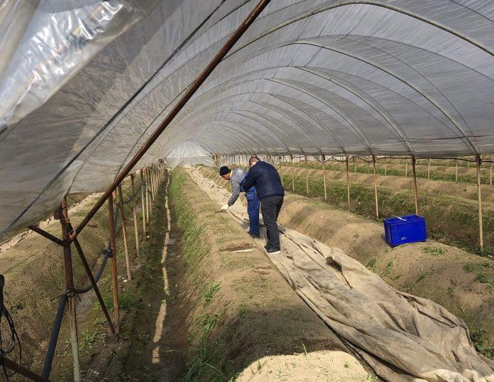 Coldiretti Verona speculazioni prodotti locali asparagi serra