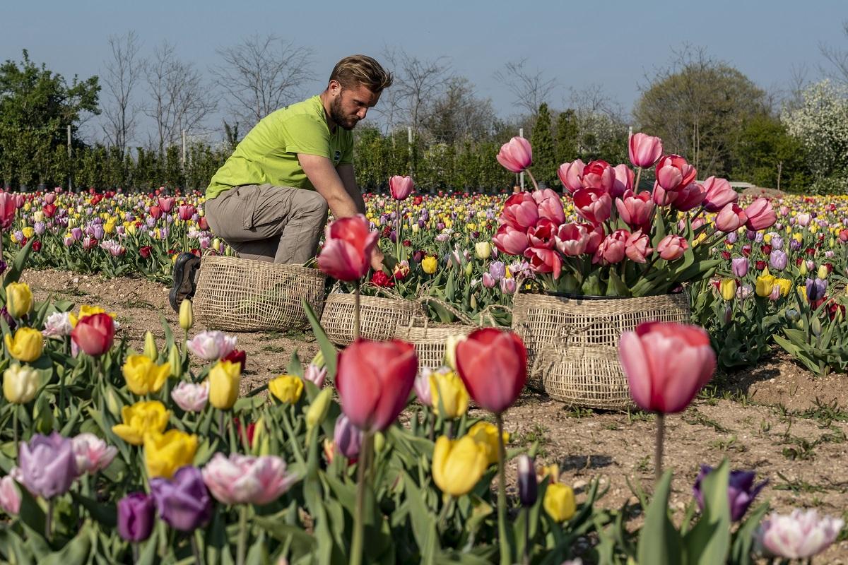 Piantare I Bulbi Di Tulipani flover, tulipani a domicilio per il 40° anniversario - daily