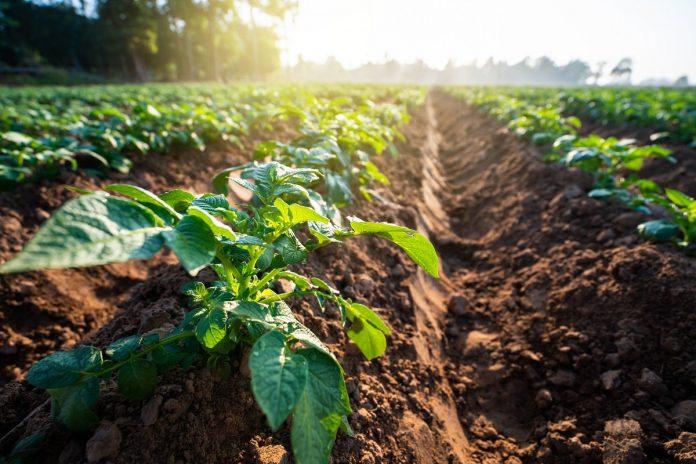 agricoltura campo piante piantagione