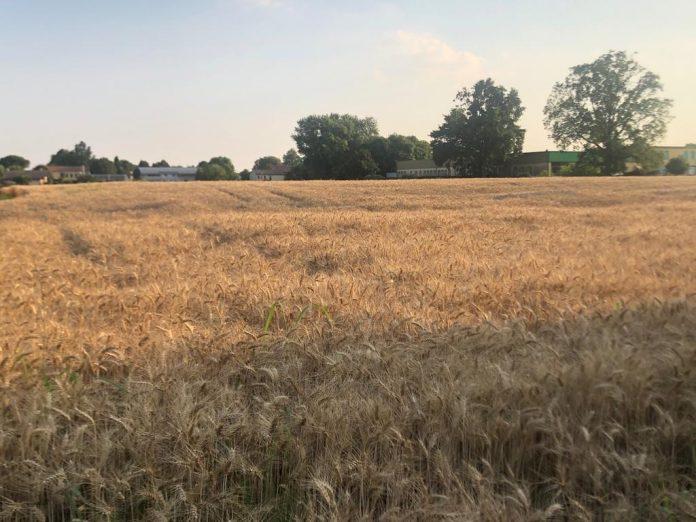 grano campo