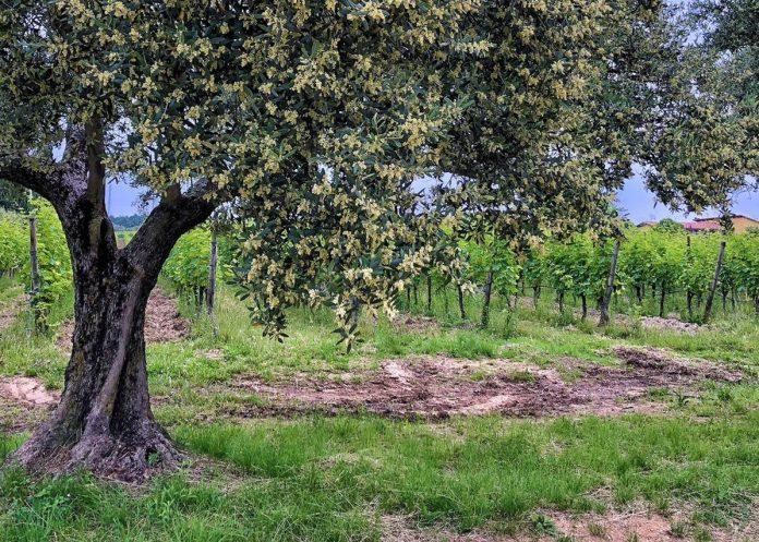 olivo olive veronesi