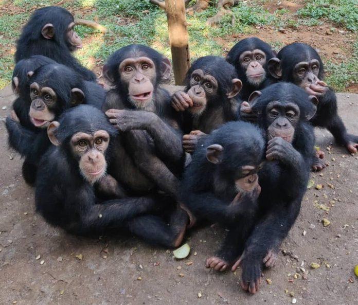 Tacugama Chimpanzees Sanctuary, un gruppo di giovani scimpanzé ospitati