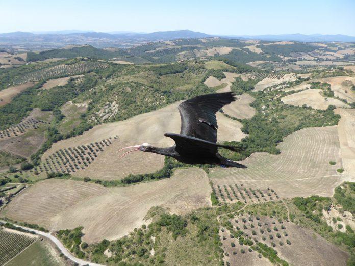 ibis eremita parco natura viva bracconaggio volatili uccelli progetto life+