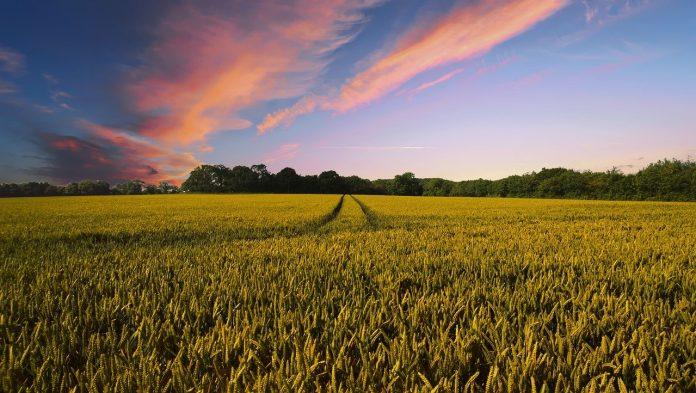 campagna campi agricoltura frumento paesaggio campo