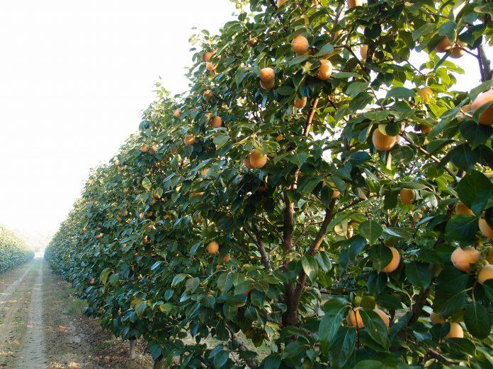 apofruit alberi da frutto coltivazioni albicocche
