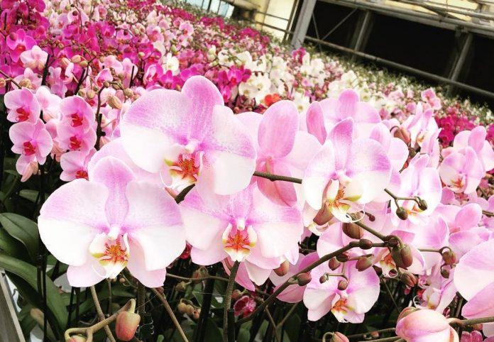 Orchidee in un vivaio.