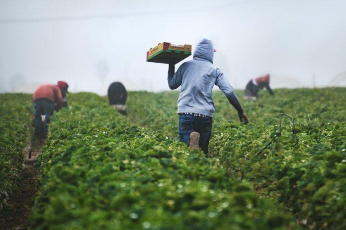 contadini agricoltori lavoratori agricoli campi agricoltura lavoratori stagionali