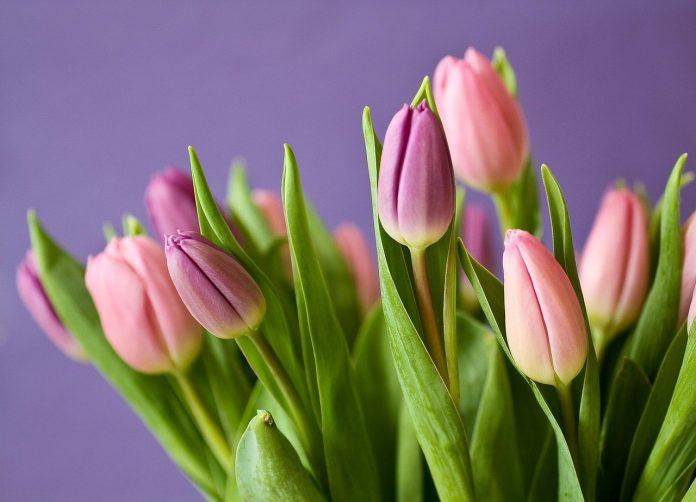 fiori piante mazzo di fiori festa della donna regalo piante pianta tulipani tulipano