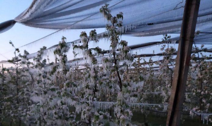 gelate ghiaccio freddo coltivazioni ciliegi ciliegie