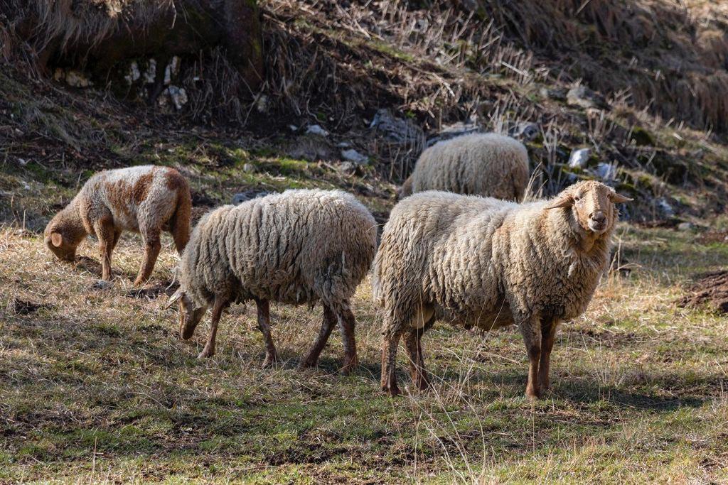 Pecore di razza Brogna